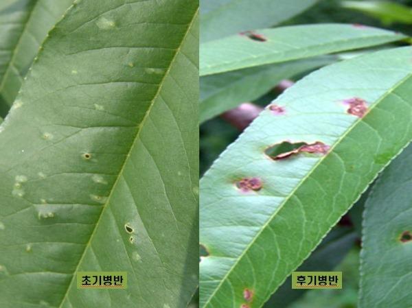 (11-2)세균구멍병(잎).JPG